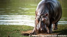 Weighing up to three tons, hippos are significantly larger than Colombia's native wildlife 4.5.2020