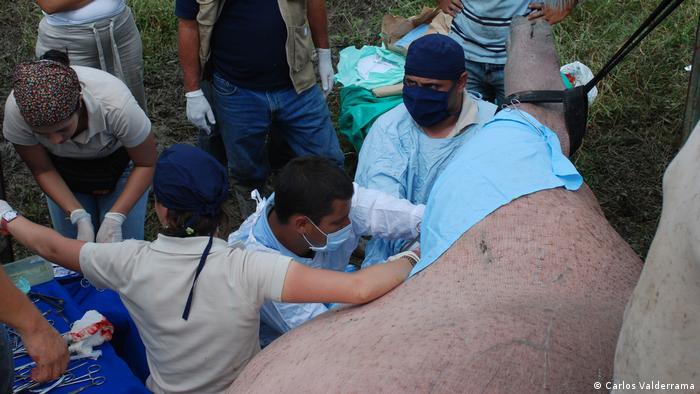 Ein Nilpferd wird in Kolumbien sterilisiert