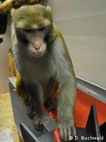 Un mono Rhesus en el Centro Alemán de Primates en Göttingen.