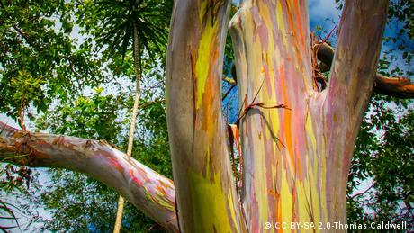 Rainbow Eucalyptus (CC BY-SA 2.0-Thomas Caldwell )