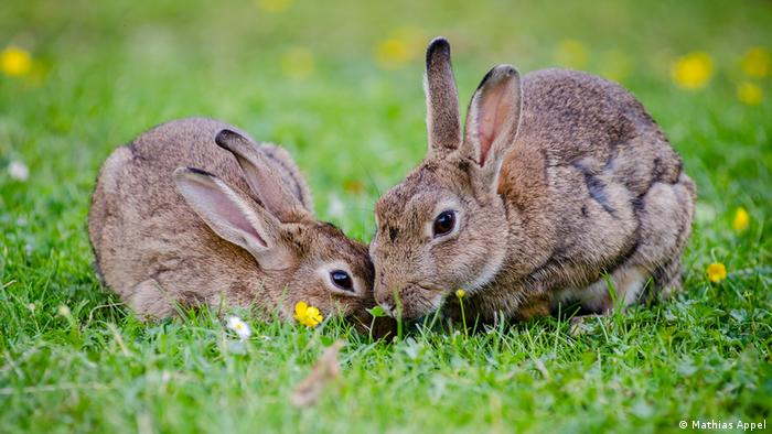 Two rabbits cuddle