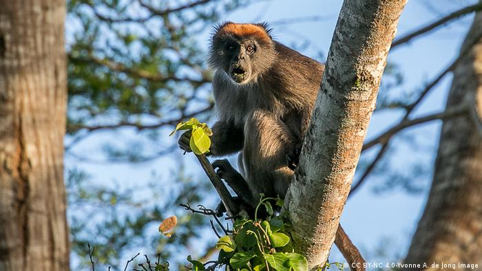 A Tana River Red Colobus sits in a tree and gapes into the distances