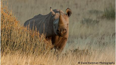 A black rhino peers out from behind some long, yellow grass