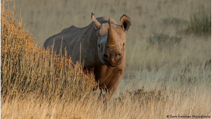 A rhino stands behind tall grass