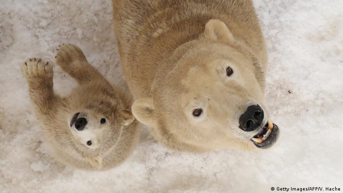 El deshielo es un desafío especial para las hembras, que entran en el otoño a sus refugios para parir en medio del invierno y emerger luego en la primavera con sus cachorros