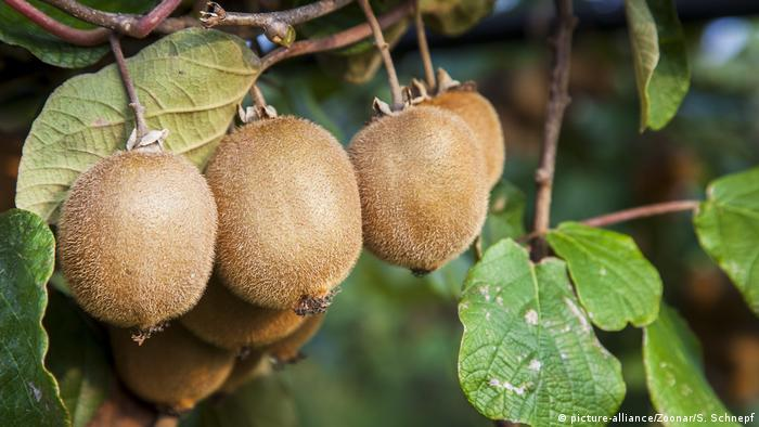 Kiwis hanging from a tree in southern Italy