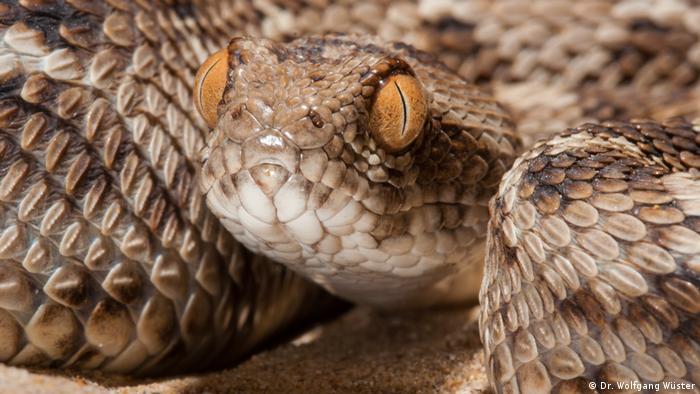 A Sochurek saw-scaled viper