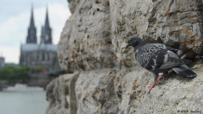 A pigeon near the Cologne Cathedral (AFP/P. Stollarz)