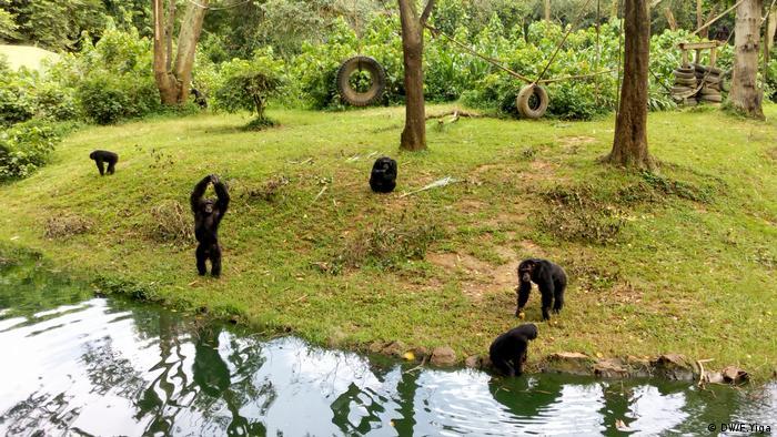 Afrika Schimpansen im Spielgehege Uganda Wildlife Conservation Education Center