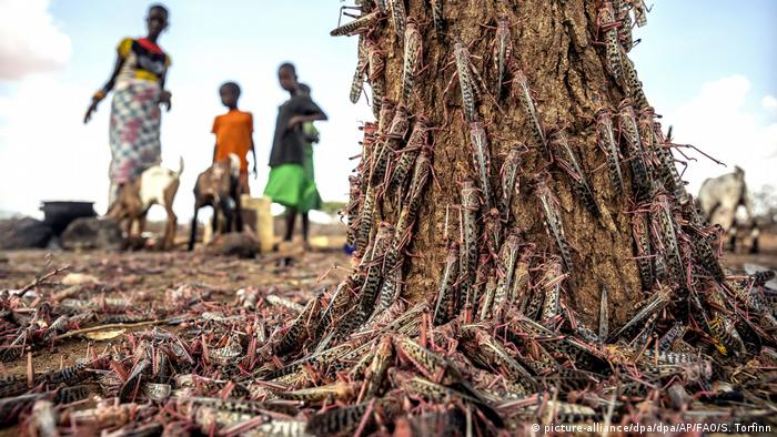Locusts cover a tree in Kenya. In the background, a woman and children look on