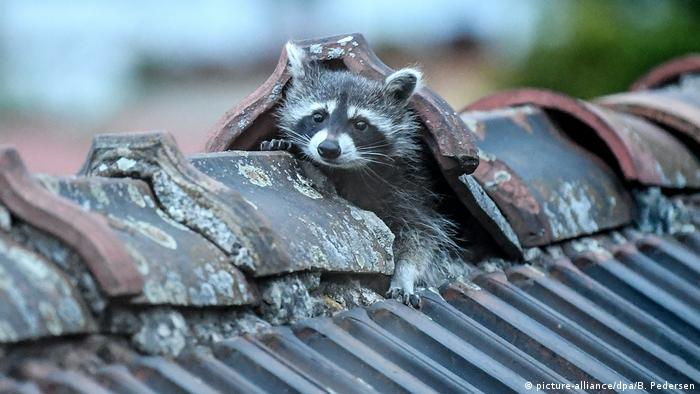 A raccoon on the roof
