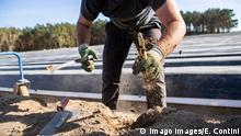 Zbieranie szparagów w Niemczech