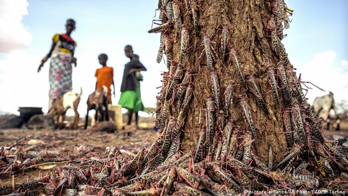 Locusts cover a tree as a family looks on in the background.