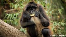 Mai 2020, Belize, Ein Klammeraffe frisst ein Stück Zuckerrohr, dass von Unterstützern des Zoos gespendet und hergebracht wurde. Der Zoo profitiert in der Krise von seinem guten Ruf - für viele Belizianer ist der Zoo die einzige Möglichkeit, die einzigartige Tierwelt des Dschungels mit eigenen Augen zu erleben. Über 10.000 Schulkinder besuchen im Jahr den Zoo, und sollen dadurch Arten-und Naturschutz nahe gebracht bekommen. Dadurch genießt der Zoo eine große Popularität und kann sich aktuell mit Geld - und Sachspenden über Wasser halten.// Redakteurin: Jennifer Collins