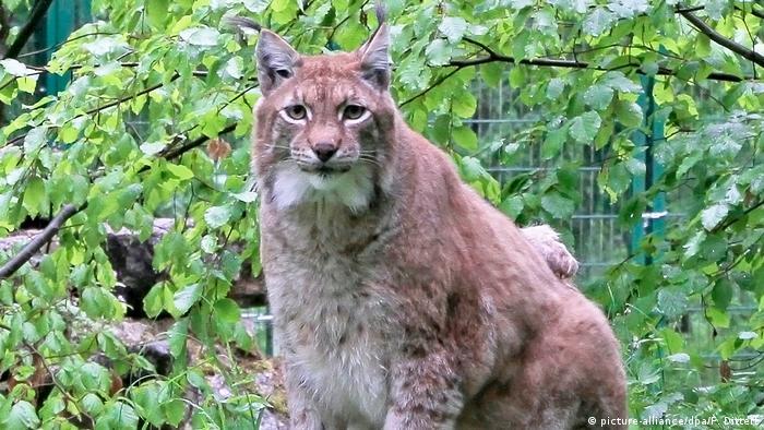Rufus, an overweight lynx (picture-alliance/dpa/F. Dittert)