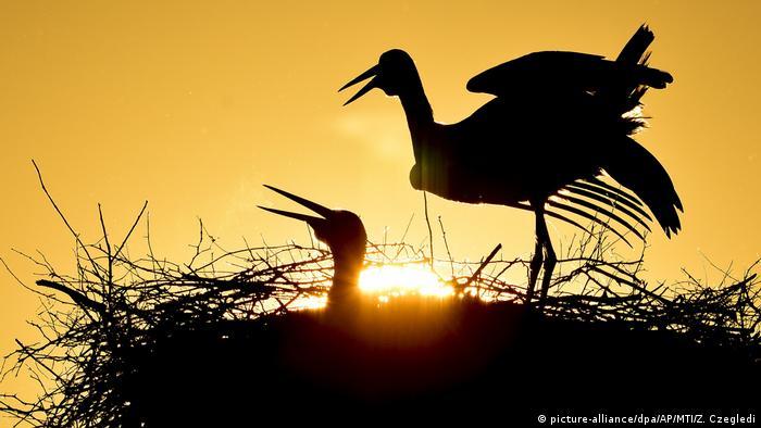 Par bijelih roda u nacionalnom parku Hortobađ u Mađarskoj. Prema istraživanju Mađarskog društva za ornitologiju i zaštitu prirode, populacija bijelih roda u toj zemlji za posljednjih pet godina je opala gotovo za četvrtinu.