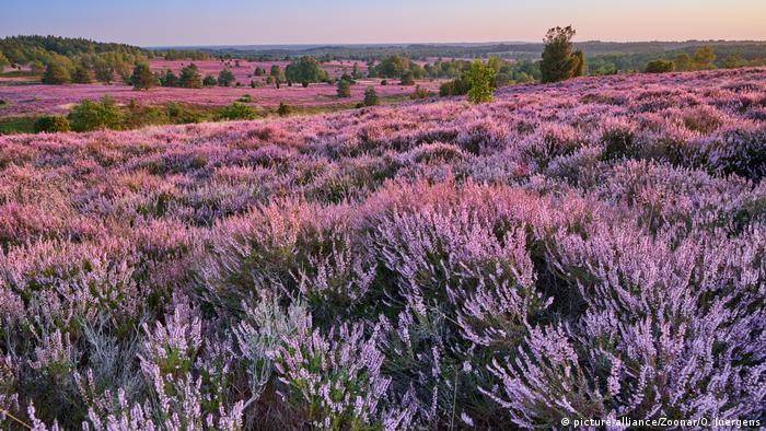 Purple flowering heath, Lüneburg Heath, Germany (picture-alliance/Zoonar/O. Juergens)