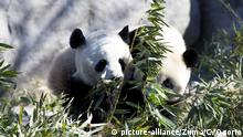 Galgary Zoo Riesenpanda Er Shun and Da Mao
