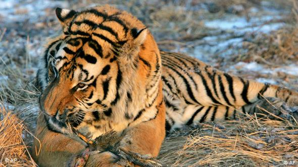 The first critical step to save tigers is to stop the bleeding not only of tigers but of their prey base