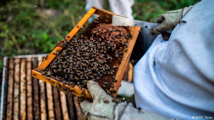 A beekeeper holding bees in Nicaragua