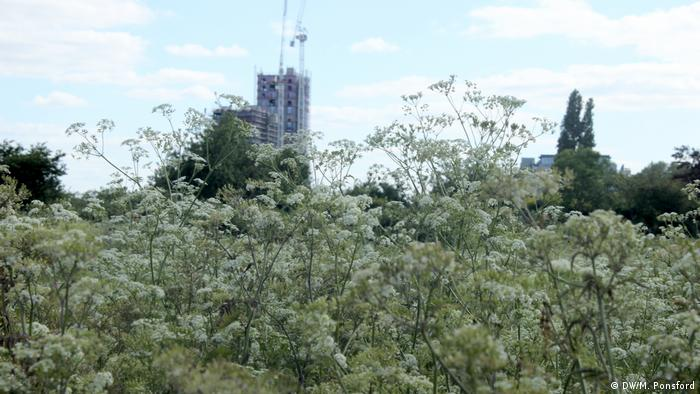 Cow parsley and hemlock growing in London