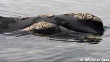 Argentinien Wale der Halbinsel Valdés