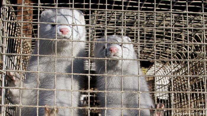 File photo: Mink in a cage in a mink farm in Pushkino Russia.