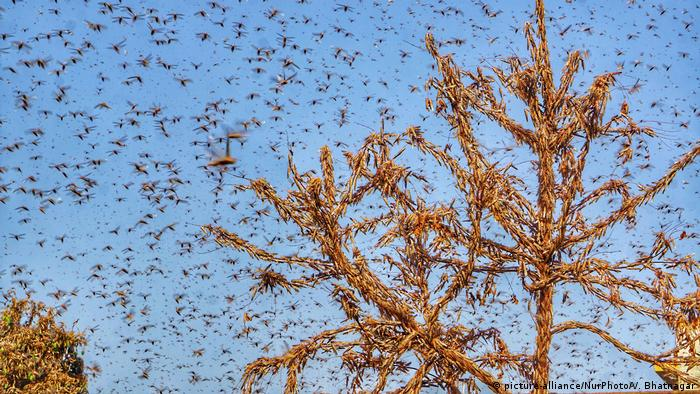 Swarms of locust attack trees in the residential areas of Jaipur, Rajasthan, Monday, May 25, 2020.