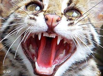 A six-month old leopard cat growls in a cage at a zoo.