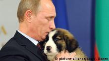 ARCHIV - Der russische Regierungschef Wladimir Putin küsst am 13.11.2010 in Sofia seinen Hund, einen etwa zweieinhalb Monate alten Karakatschan-Welpen, den er zuvor bei seinem Besuch in Sofia von Regierungschef Borissow als Geschenk erhalten hatte. Putin braucht Hilfe bei der Suche nach einem Namen für seinen Welpen. Daher darf sich jeder Interessierte an der Namensfindung für den Karakatschan- Rüden beteiligen und einen Vorschlag auf Putins Website eintragen, berichteten die russischen Medien in der Nacht zum Mittwoch (17.11.2010). Foto: VASSIL DONEV +++(c) dpa - Bildfunk+++ |