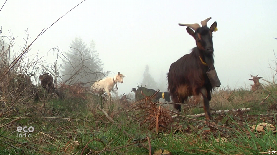Preventing fires with goats