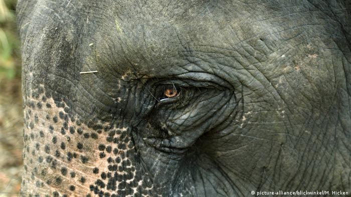 Indien | Asiatischer Elefant (picture-alliance/blickwinkel/M. Hicken)
