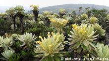 Frailejon I Espletia Pflanze (Espeletia sp.)