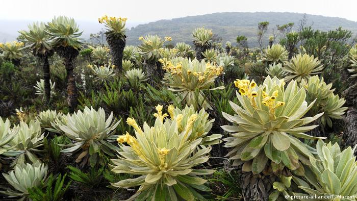 Frailejon I Espletia Pflanze (Espeletia sp.) (picture-alliance/T. Marent)