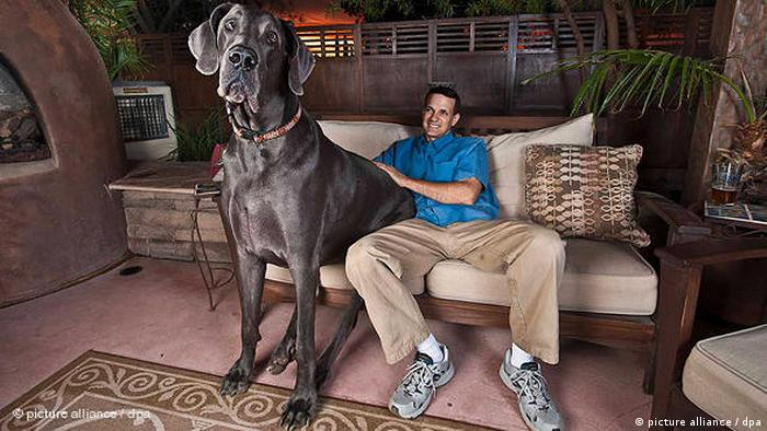 World's largest dog in 2010 (picture alliance / dpa)