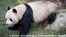 Dänemark Kopenhagen Zoo |Panda Xing