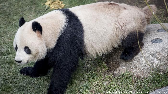 دب الباندا العملاق تشينع إير هارباً من حظيرته في حديقة حيوان كوبنهاغن