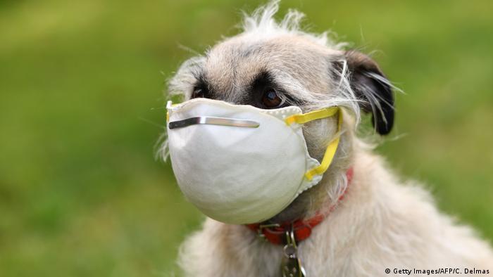 Собака в маске, защищающей ее от коронавируса