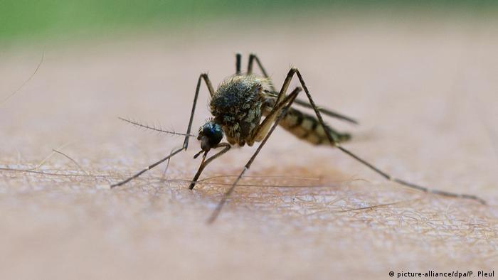 Stechmücke saugt Blut