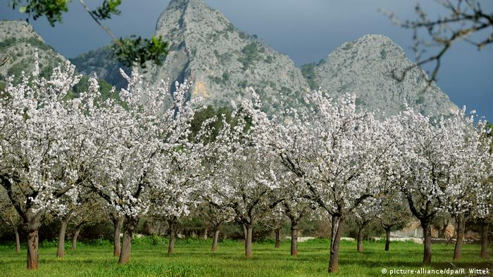 Flowering almond trees, Mallorca, Spain (picture-alliance/dpa/R. Wittek)