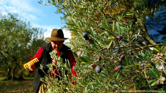 A man tends to his olive grove in Italy