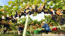 Pickers gather grapes at Ryedale Vineyard in Westow near York