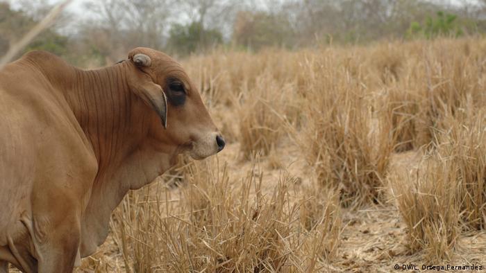 La ganadería extensiva e industrial es responsable de 14,5% de las emisiones de gases de efecto invernadero, equivales a todas las emisiones del transporte global.