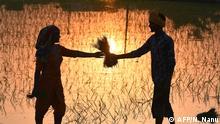 BdTD Indien Amritsar Reis-Pflanzung