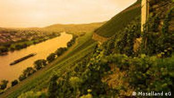 A vineyard on the banks of the Mosel River