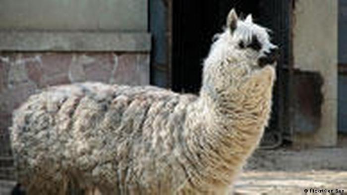 Foto von dem chinesischen grass mud horse oder cao ni ma
