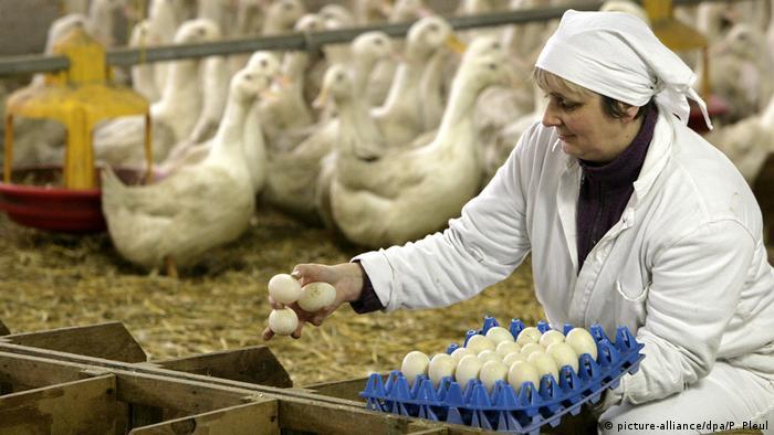 يمكن التعرف على بيض البط من خلال حجمه وألوانه
