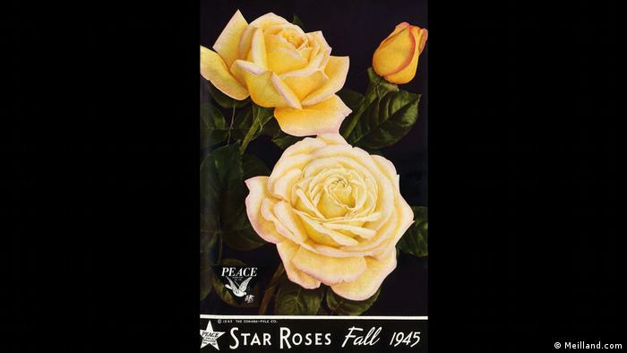 La Legendaria Rosa De La Paz De La Onu La Rosa Más Bella Del Mundo Europa Dw 25 06 2020