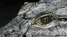 Das Auge eines Krokodils
