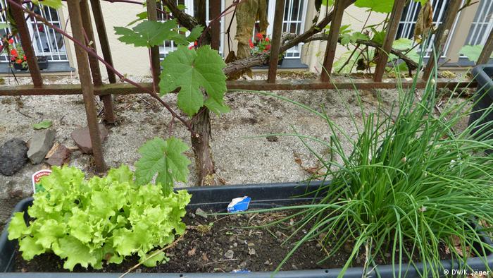 Salat und Schnittlauch im Balkonblumenkasten aus dem Dachgarten der Alevitischen Gemeinde Wuppertal